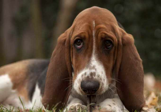 Akc Basset Hound Puppies For Sale