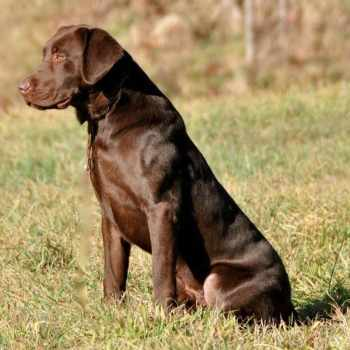 Akc Breeders Labrador Retrievers