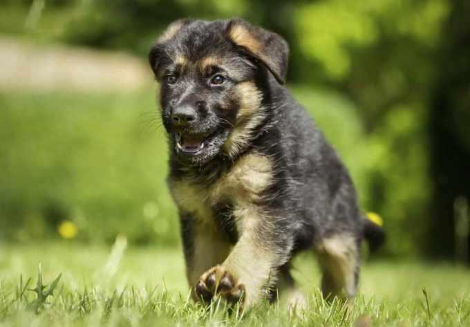 Akc German Shepherd Puppy