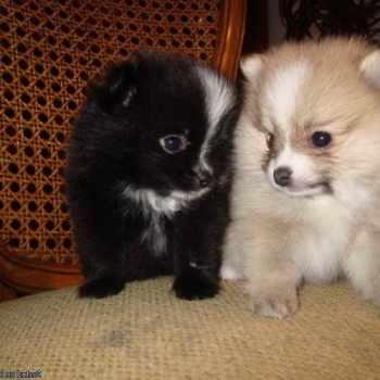 Akc Pomeranian Puppies For Sale