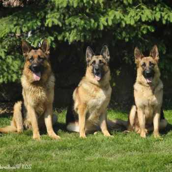 Akc Registered German Shepherd For Sale