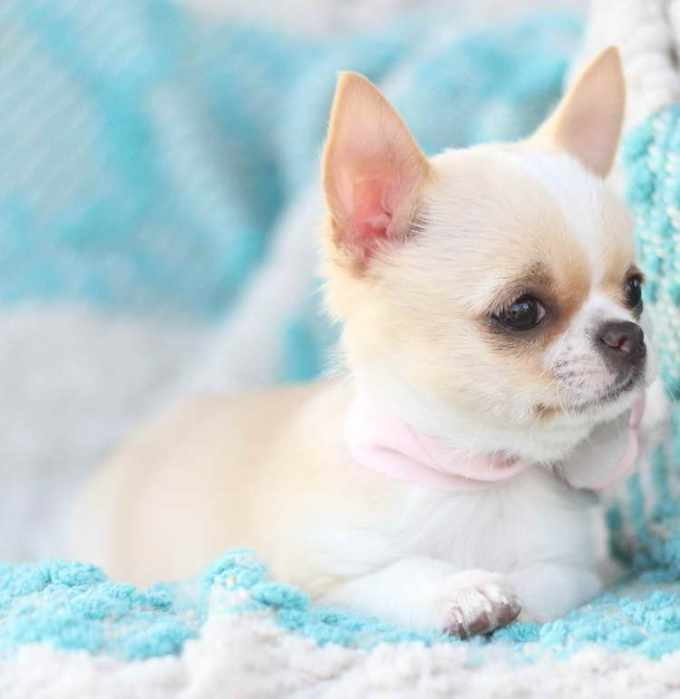 Akc Teacup Chihuahua