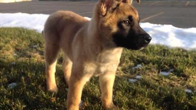 Akita German Shepherd Mix For Sale