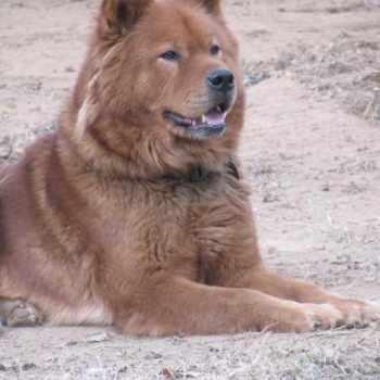 Akita Mastiff Mix Puppies For Sale