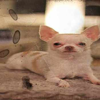 Alabama Chihuahua Rescue