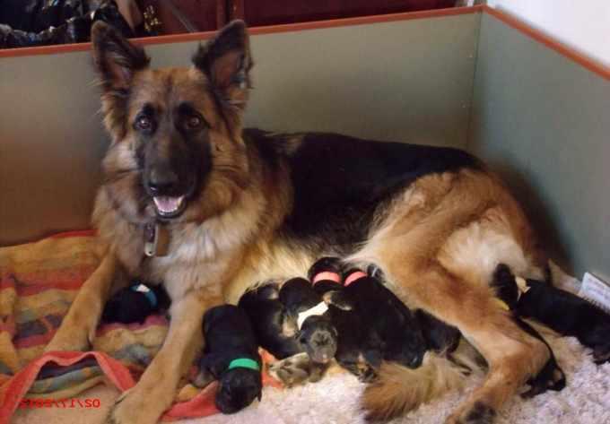 Alabama German Shepherd Rescue