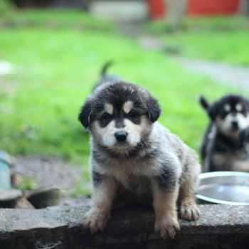 Alaska Golden Retriever Puppies