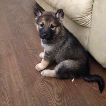 Alaskan Malamute German Shepherd Mix Puppies For Sale