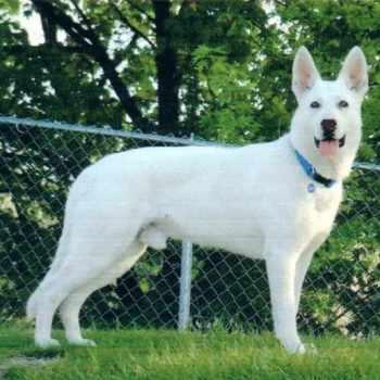 Albino German Shepherd For Sale