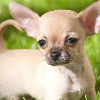 All About Chihuahua Puppy