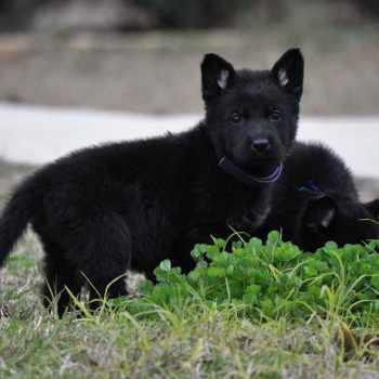 All Black German Shepherd Puppies For Sale In Texas