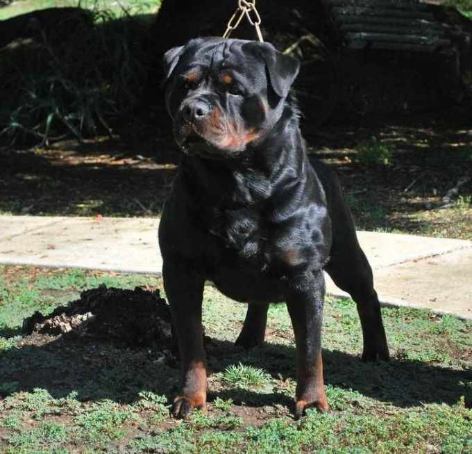 All Black Rottweiler Puppies For Sale