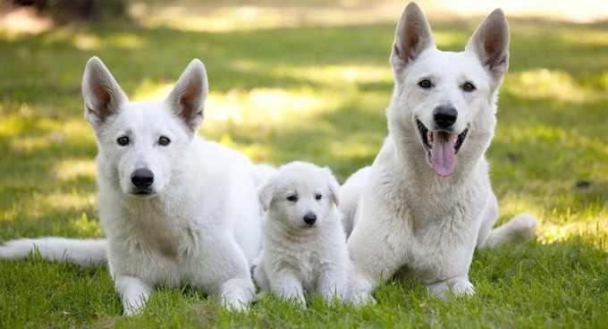 All White German Shepherd