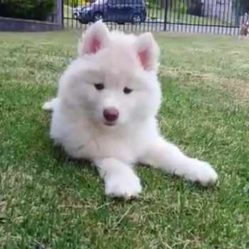 All White Husky Pup