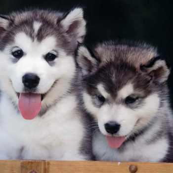 Alskan Husky Puppies