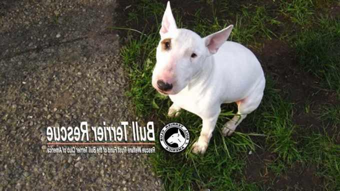 American Bull Terrier Rescue