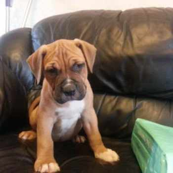 American Bulldog Mastiff Puppies For Sale