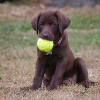 American Chocolate Labrador Puppies