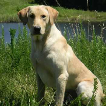 American Field Labrador Retriever Breeders
