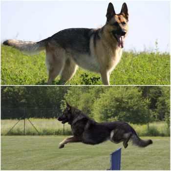 American German Shepherd Vs German German Shepherd