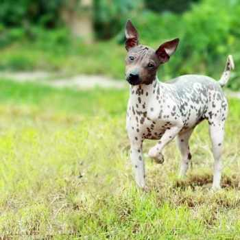 American Hairless Terrier Rescue