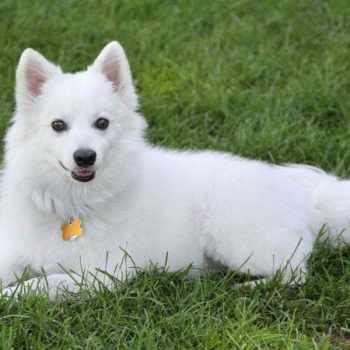 American Husky Puppy