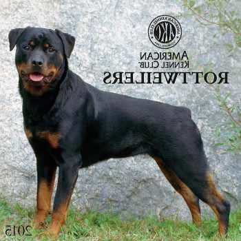 American Kennel Club Rottweiler