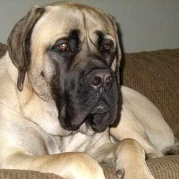 American Mastiff Puppies Price
