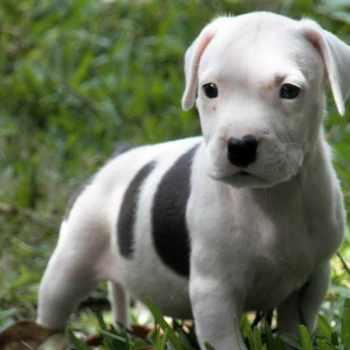 American Pit Bull Terrier Rescues