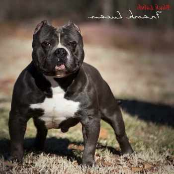 American Pit Bull Terrier Temperament Strong Willed
