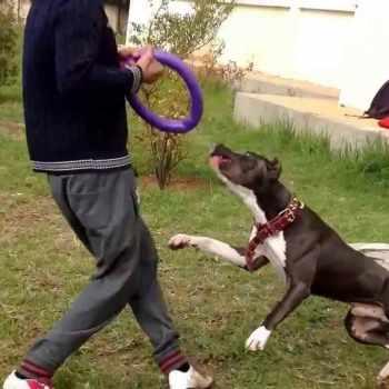 American Pit Bull Terrier Training
