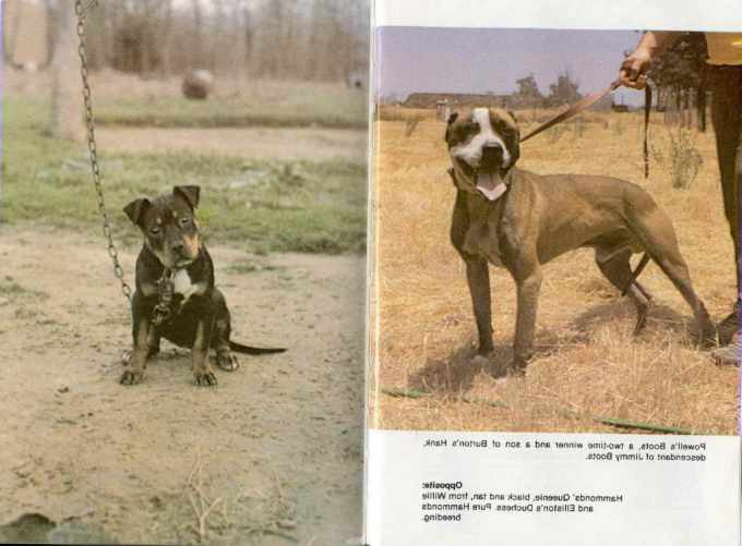 American Pitbull Terrier Books