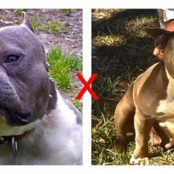 American Pitbull Terrier For Sale