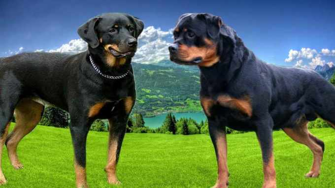 American Rottweiler Vs German Rottweiler