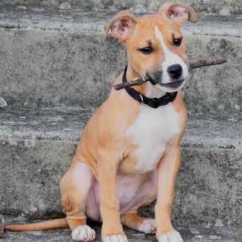 American Staffordshire Terrier Adoption