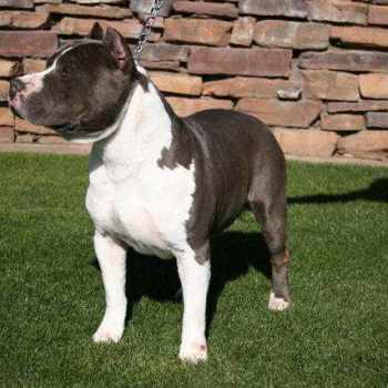American Staffordshire Terrier Kennels
