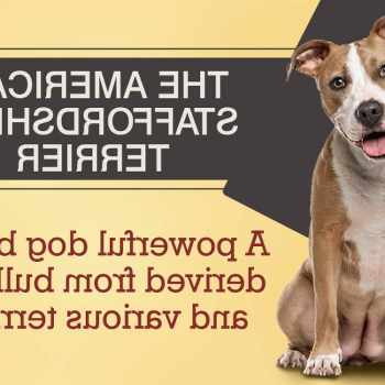American Staffordshire Terrier Mix