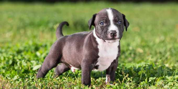 American Staffordshire Terrier Price