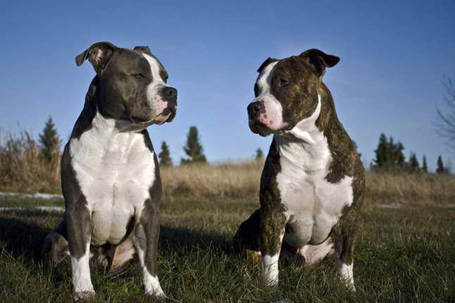American Staffordshire Terrier Puppies For Sale
