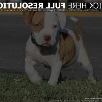 American Terrier Pitbull Puppies