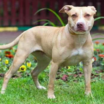 American Terrier Pitbull