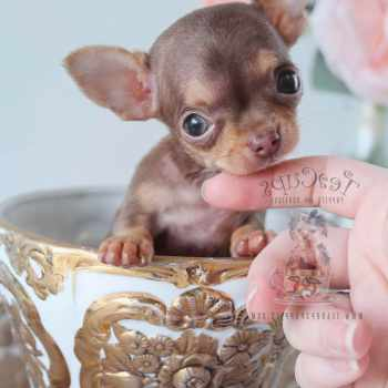 Applehead Chihuahua For Sale In Florida