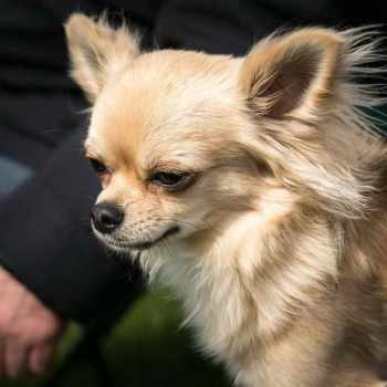 Applehead Chihuahua Picture