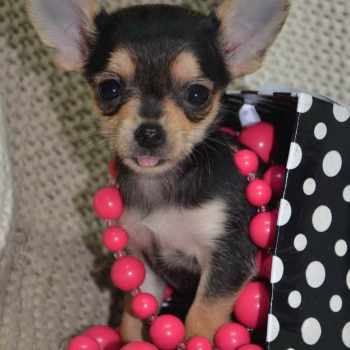 Applehead Chihuahua Puppies For Sale In Alabama