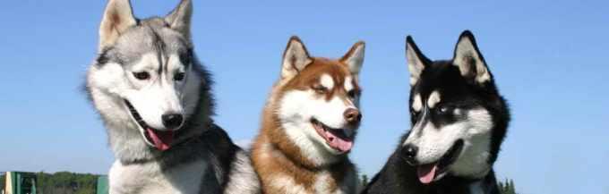 Arizona Siberian Husky Rescue Adoption Inc