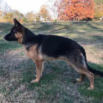 Atlanta German Shepherd Rescue