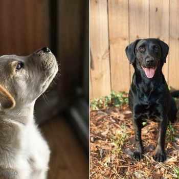 Atlanta Labrador Rescue