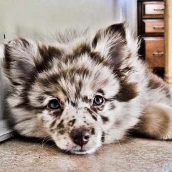 Aussie Pomeranian Mix For Sale