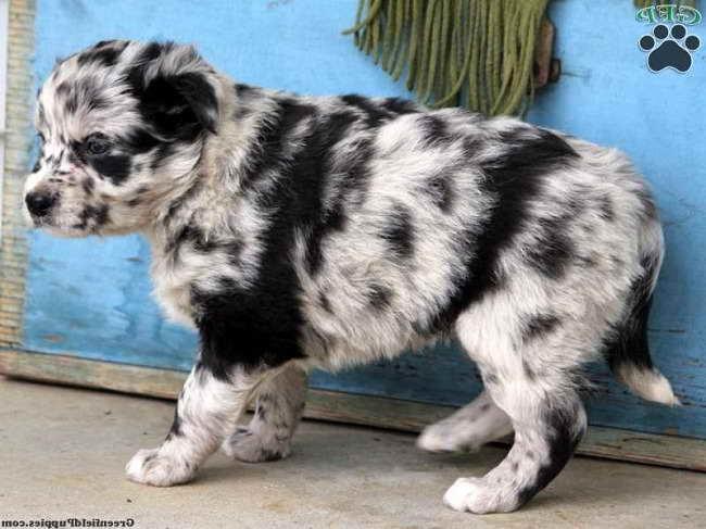 Australian Husky Puppy For Sale