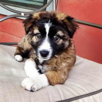 Australian Shepherd German Shepherd Mix Puppies For Sale